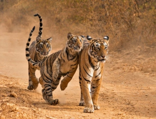 The 7 Best Places To See Tigers In India